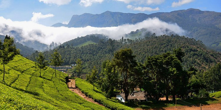 India - Kerala - Munnar - Tea Plantation - 113